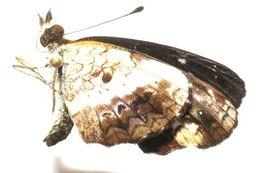 Image of <i>Castilia myia</i> Hewitson 1864