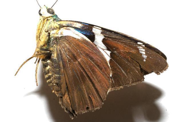 Image of <i>Astraptes synecdoche</i>