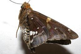 Image of Epargyreus