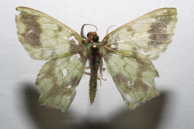 Image of <i>Cathydata batina</i> Druce 1892