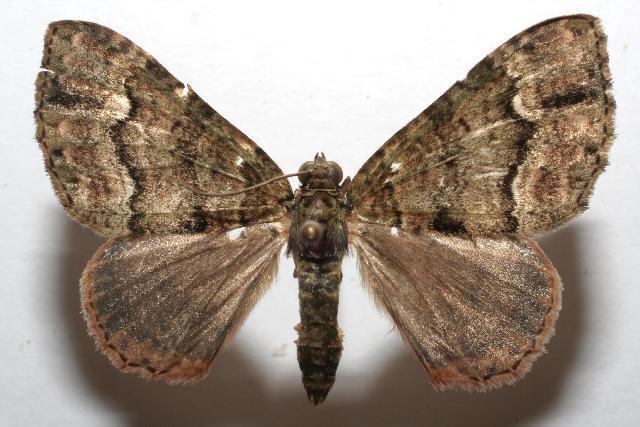 Image of <i>Euphyia cinerascens</i> Dognin 1900