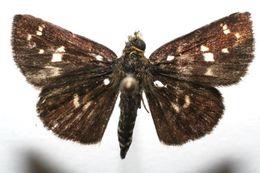 Image of <i>Dardarina dardaris</i> Hewitson 1877