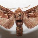 Image of <i>Semyra bella</i> Herrich-Schäffer 1854
