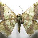 Image of <i>Neagathia corruptata</i> Felder 1875