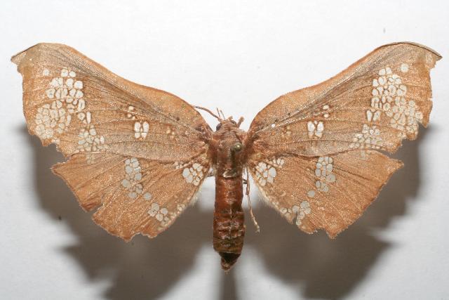 Image of <i>Draconia rusina</i> Druce 1893