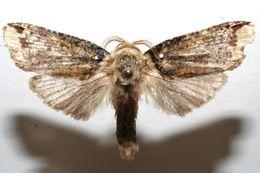 Image of <i>Magulacra niveogrisea</i>
