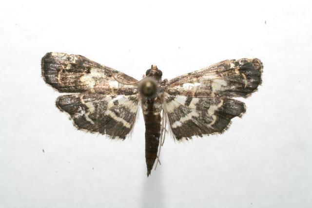 Image of <i>Eurrhyparodes splendens</i> Druce 1895
