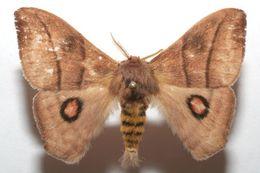 Image of <i>Hylesia lineata</i> Druce 1886