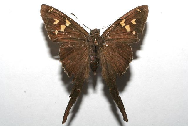 Image of White-striped Longtail