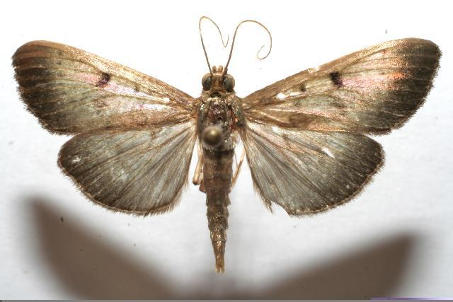 Image of <i>Ceratocilia sixolalis</i>