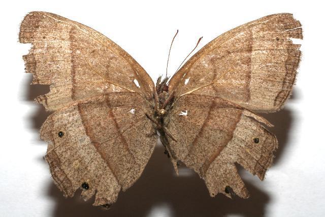 Image of <i>Yphthimoides renata</i> Cramer 1782