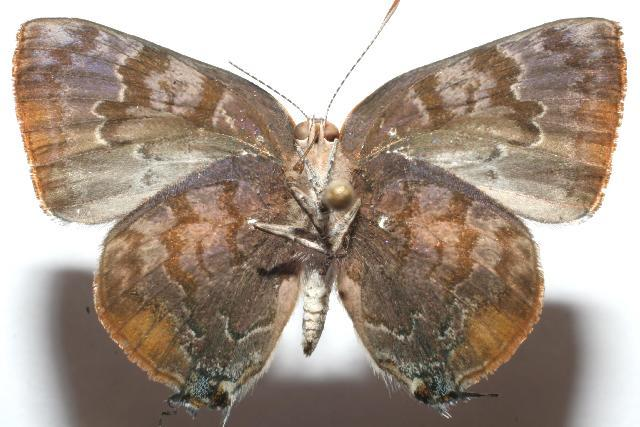 Image of <i>Rekoa palegon</i>