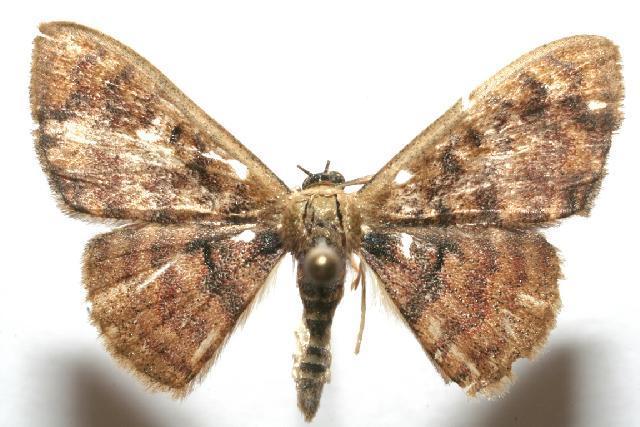 Image of Pleuroprucha