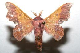 Image of <i>Lacosoma valera</i> Schaus 1928