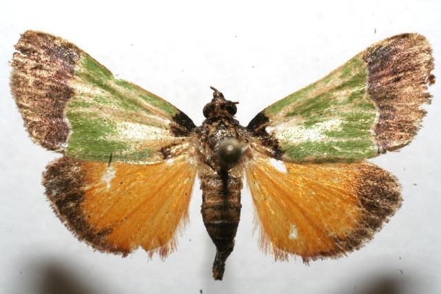 Image of <i>Epidelia damia</i> Druce 1881