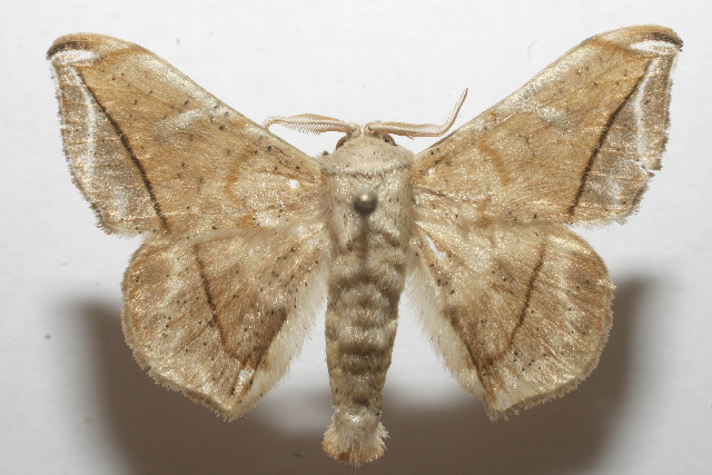 Image of <i>Menevia ostia</i>