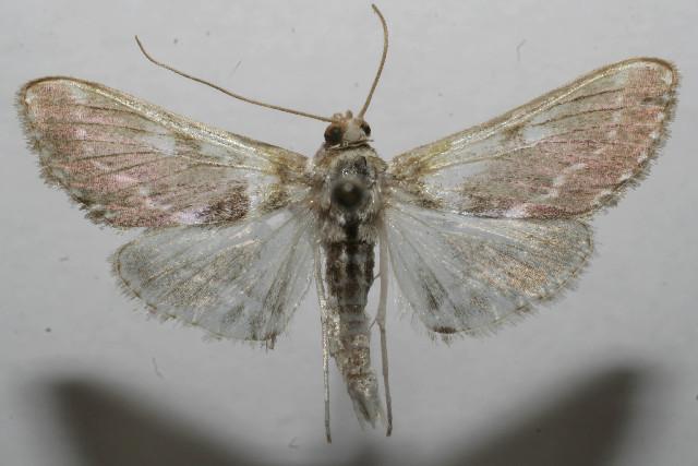 Image of <i>Apilocrocis excelsalis</i>