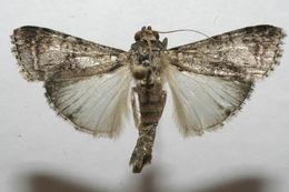 Image of <i>Chloropaschia granitalis</i> Felder