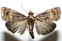 Image of Chloropaschia