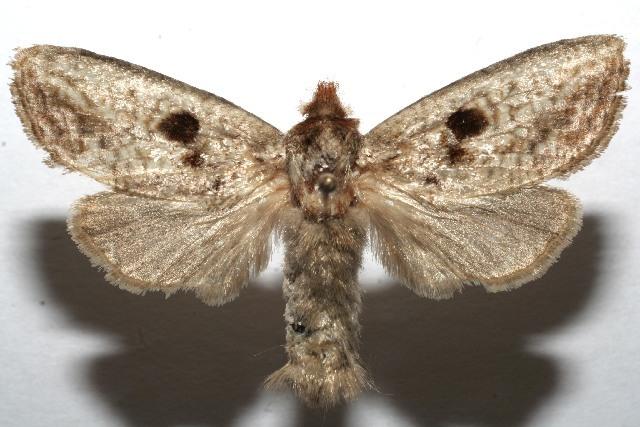 Image of Spinulata
