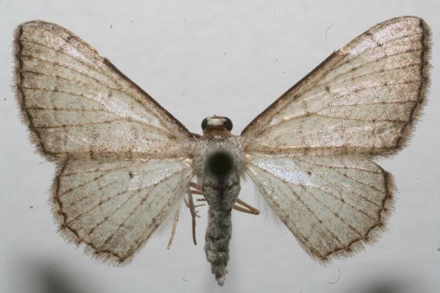 Image of Ptychamalia