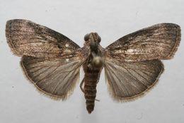 Image of Pococera