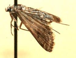 Image of <i>Parapoynx allionalis</i>