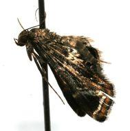 Image of <i>Usingeriessa onyxalis</i> Hampson 1897
