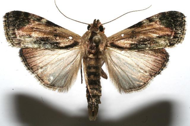 Image of <i>Chloropaschia pegalis</i> Schaus 1922
