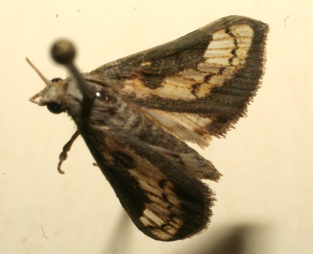 Image of Boeotarcha