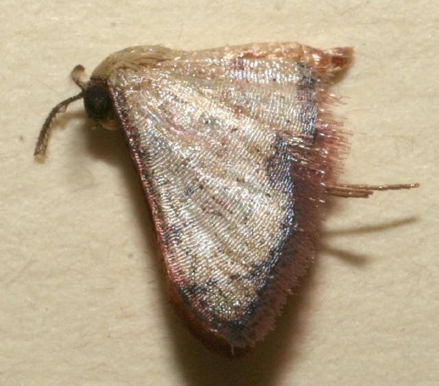 Image of Lobocleta