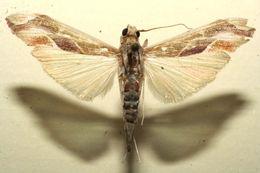 Image of <i>Agathodes monstralis</i> Guenée 1854