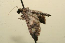 Image of <i>Eurrhyparodes syllepidia</i>