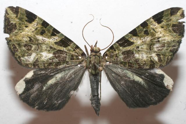 Image of <i>Erebochlora tesserulata</i> Felder 1875