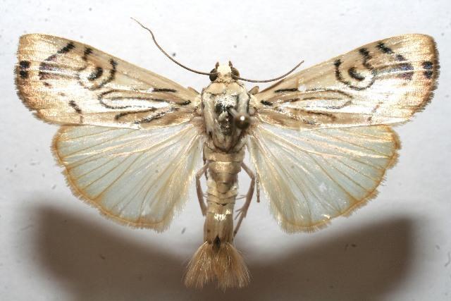Image of <i>Dichogama redtenbacheri</i> Lederer 1863