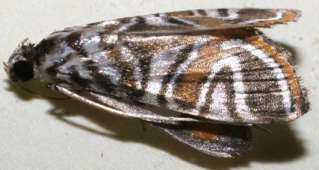 Image of <i>Aulacodes pulcherialis</i>