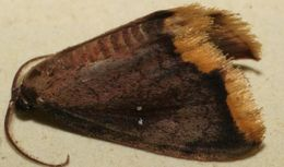 Image of <i>Lobocleta flavistigma</i> Warren 1906
