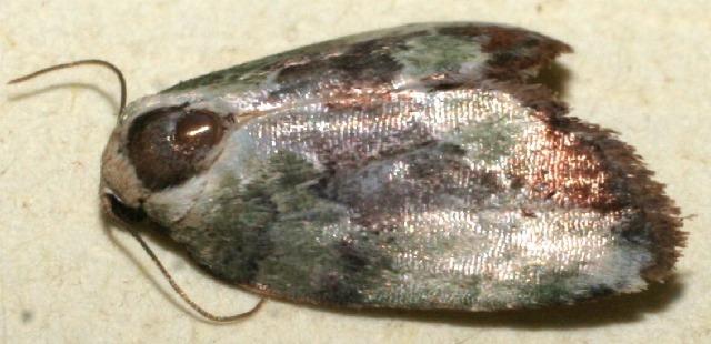 Image of nolBioLep01 BioLep692