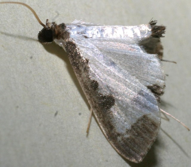 Image of <i>Caprinia periusalis</i> Walker