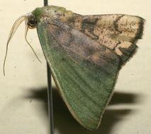 Image of <i>Tachychlora amilletes</i> Prout 1932