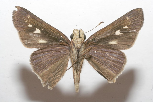 Image of Long-windged Skipper