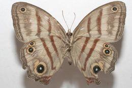 Image of <i>Magneuptychia agnata</i>