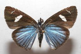 Image of <i>Pythonides amaryllis</i> Staudinger 1876