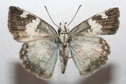 Image of Glassy-winged Skipper