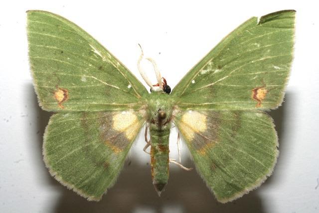 Image of Rhodochlora