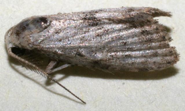 Image of Meganola