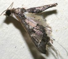 Image of Eurrhyparodes