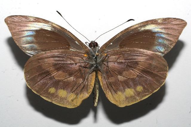 Image of <i>Lieinix cinerascens</i> (Salvin 1871)
