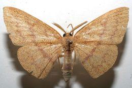 Image of <i>Cyclophora</i>