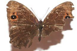 Image of <i>Praepronophila perperna smalli</i>